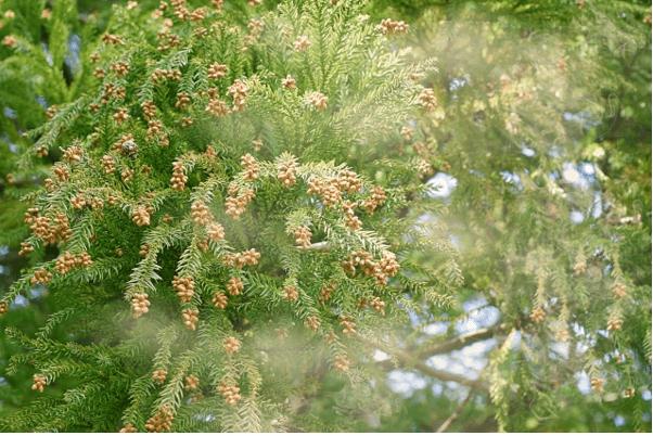 花粉が飛散する様子